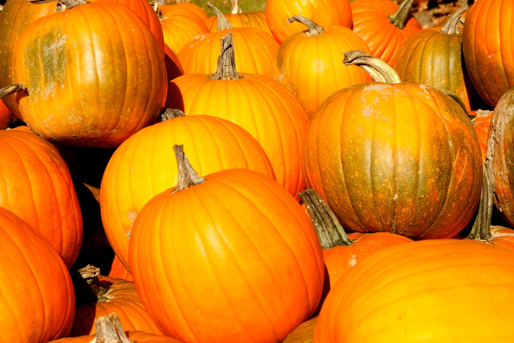 Pumpins from the Maine Pumpkin Patch
