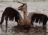 BP&#039;s Gulf Oil Disaster Bird Victim Coated in Oil