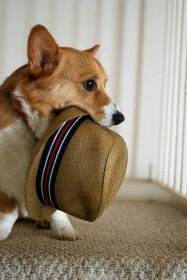 Cute dog with hat in mouth