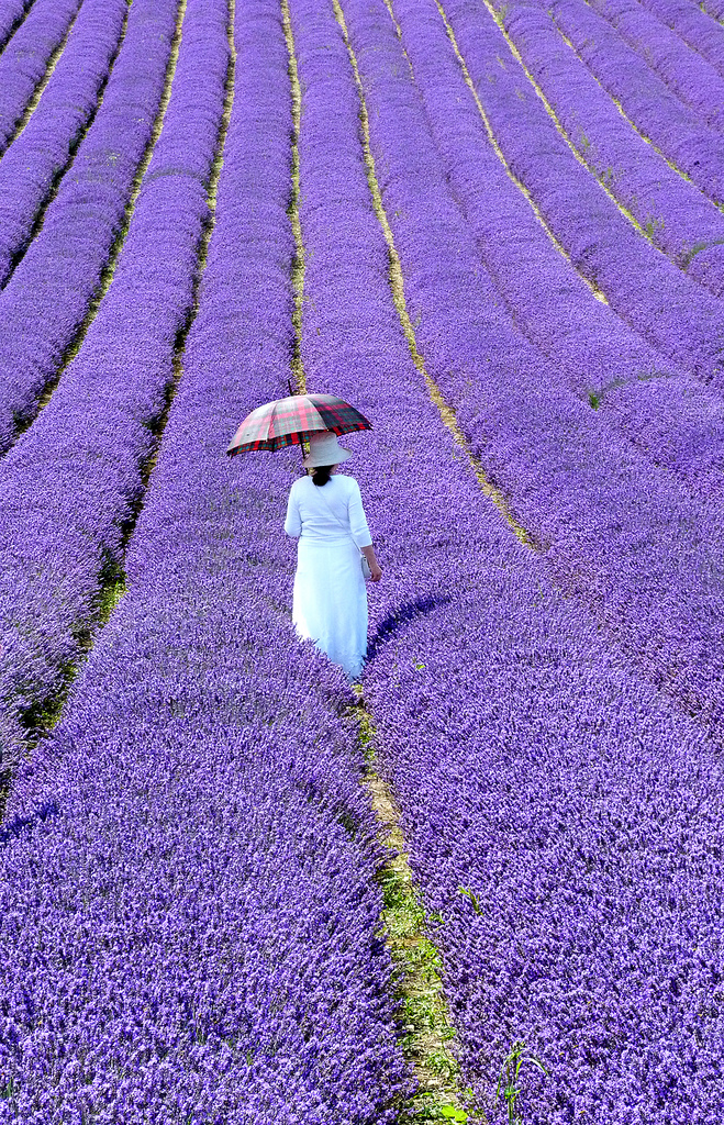 Lavender Walk by amberlight1 at Flickr