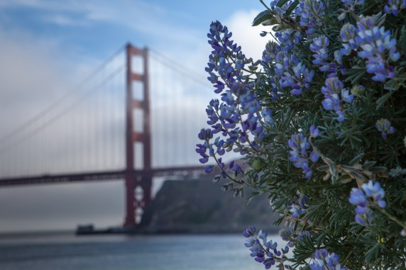 Golden Gate Bridge and Flowers at Fort Baker Point
