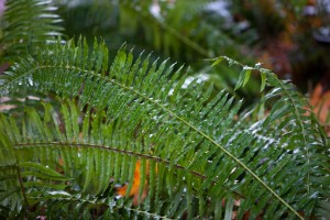 Vancouver Island Wet Forest Fern
